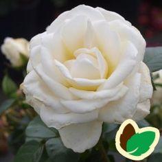 Rose Kailani Palace - Palace Rose