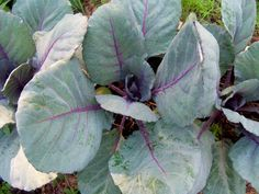 Another shot of the cabbage!