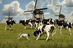 Dutch Bulls