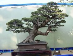 More Pictures, More Photos, Bonsai Ficus, Ficus Microcarpa, Buxus, Country Musicians, Cement Pots, Us Images, North America