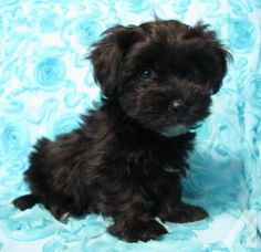 Vice* Adorable Havanese Havapoo Male Puppy Ready Now! for Sale in ...