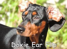 All Dachshund owners are familiar with the fame doxie ear flip!