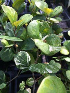 ต้นยางอินเดีย Rubber Fig Ficus Elastica Varieties Quot The