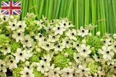 British white ornithogalum at New Covent Garden Flower Market - October 2014