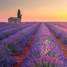 ***Lavender field (Plateau de Valensole, Provence, France) by (@andreabelussiphotographer) Andrea Belussi