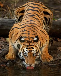 Beautiful Cats, Animals Beautiful, Cute Baby Animals, Animals And Pets, Tiger Artwork, Tiger Pictures, Majestic Animals, Mundo Animal, Animal Wallpaper