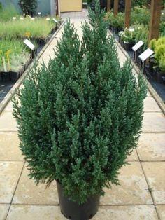 junipero verde arbol - Yahoo Image Search Results
