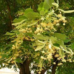 Tilleul+à+grandes+feuilles+-+Tilia+platyphyllos+Rubra