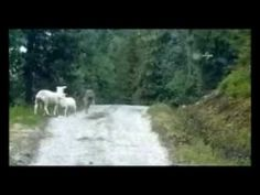 Sheep Chases Wolf Away in Norway