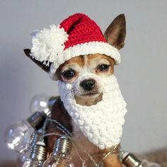 #santapaws #santapawsclub #christmascrochet #petcrochet #dogcrochet #dogcrochethat #chihuahua #chihuahualife #chihuahualove #chihuahuaoftheday #dog #christmasdog #christmasdogsofinstagram #yarn #crochet #crocheting #crochetlove the lights and the fake fur blanket is also from @sostrenegrene #søsternegrene #søstrenegrenegarn #royalcanin @royalcanindanmark #santa #christmas2016 #christmas