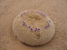 Pholisma sonorae, commonly known as Sandfood, is a rare and...