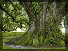 Giant trees | Giant green tree trunk - Tree pictures documenting the beauty of ...