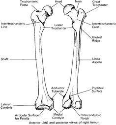 Anatomy Learning further  likewise Science The Human Body likewise Bone Microstructure further Latin Projects. on human skeleton parts names