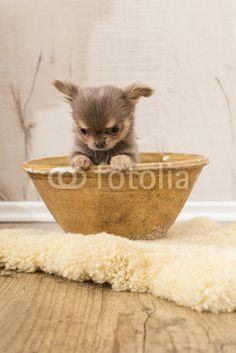 Welpe, Chihuahua, Hundebaby, Schüssel,