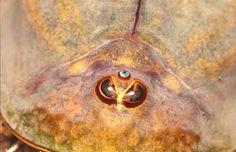CRUSTACEA - os 3 olhos característicos de triops, um Crustáceo branquiópode típico de corpos d'água temporários.
