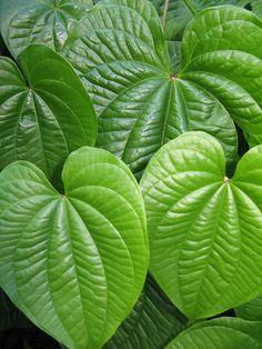 """Green Hearts""  Dioscorea species plant leaf (http://en.wikipedia.org/wiki/Dioscorea)  Dioscorea bulbifera – Air Yam (http://wildlifeofhawaii.com/flowers/1965/dioscorea-bulbifera-air-yam/ , http://en.wikipedia.org/wiki/Dioscorea_bulbifera)"