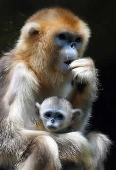 Golden Nosed Monkey & Baby