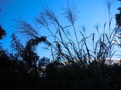 2012 - Sept - Zebra Grass - Like fireworks in the sky-1