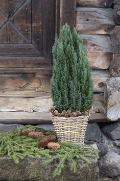 Sypress Cactus Plants, Planter Pots, Christmas, Lily, Christmas Deco, Nice Asses, Xmas, Weihnachten, Yule