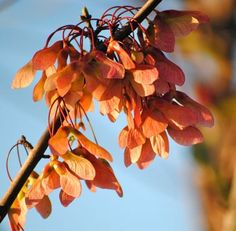 Fall in Florida- seeds of the red maple tree appear.