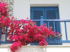 Image result for bougainvillea white wall