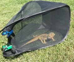 Bearded dragon outside cage made from mesh laundry basket