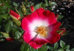Bukavu heirloom roses