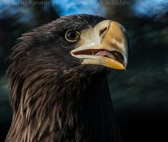 Giant Eagle by Bernd Hinterthan on 500px