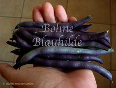 Bohne Blauhilde * Stangenbohne blau * ertragreich* 25 Samen