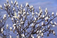 Habitat-----little Corellas often form large flocks, especially along watercourses and where seeding grasses are found.