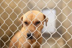 URGENT***WILL DIE IF NOT OUT BY 7PM THURSDAY Staffordshire Terrier mix female less than 4 months old  Kennel A33****$51 to adopt and save a life  Located at Odessa, Texas Animal Control. 432-368-3527.
