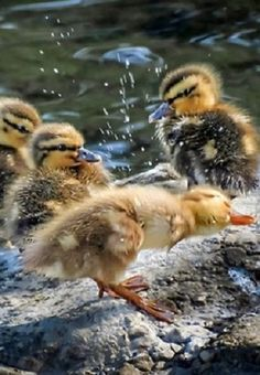 "Ducklings: ""Springtime Refreshment!"""
