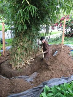 Bamboos are a huge design trend and they're an elegant addition to a garden - but you must plan to control their growth & spread with a bamboo root barrier. Bamboo Landscape, Backyard Garden Landscape, Small Backyard Gardens, Bamboo Barrier, Clumping Bamboo, Growing Bamboo, Growing Plants, Raised Garden Planters, Haus Am See