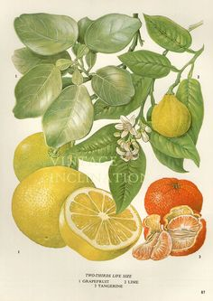 Vintage botánico impresión antiguo POMELO 87, planta Imprimir Arte Botánico de bookplate impresión, impresión, cítricos frutales plantas pared