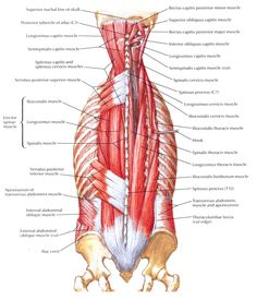 More detailed layers of the erector spinae muscles. [layers of muscles in the upper back | Muscles of Back-Intermediate Layers | Bedahunmuh's Blog]