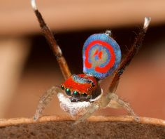 Peacock jumping spider