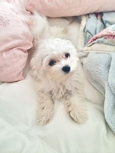 Sweet Lilly Maltese