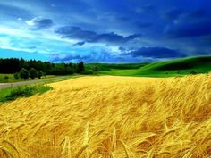 Ukraine - beautiful photo of wheat field and blue sky. Living version of the Ukrainian flag. Truly awesome.