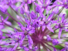 Organic Purple Sensation Allium Seeds allium by brambleoak on Etsy, $1.50