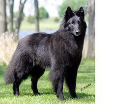Beautiful, black, fluffy perfect ♥ Belgian Sheepdog