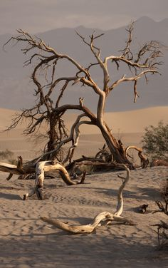 Deadwood - Dead Tree at Mesquite Flat Sand Dunes.