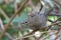 Chin Hills Wren-Babbler(Spelaeornis oatesi)