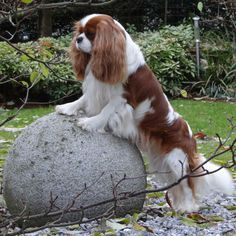 Cavalier King Charles Spaniel checking out what's ahead! Cavalier King Charles Dog, King Charles Spaniel, Cute Puppies, Dogs And Puppies, Doggies, Cocker Spaniel Dog, Beautiful Dogs, Pose, I Love Dogs