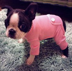 In My Long Johns ❤❤❤ from: http://bostonterrierworld.com/in-my-long-johns/