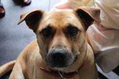 My Bull Mastiff x Labrador dog