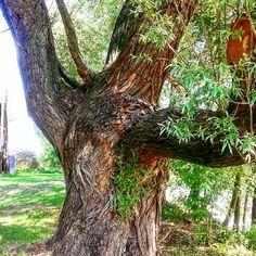 #wierzba#drzewo #rzeszów #wisłok #polska#przyroda #willow #tree #nature #poland