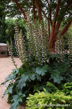 Bears Breeches or Acanthus 'Summer Beauty' is one of my favorites. Garden Shrubs, Shade Garden, Garden Plants, Garden Landscaping, Fruit Garden, Herb Garden, House Plants, Landscape Plans, Garden Landscape Design