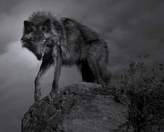 ooohhh nice black wolf