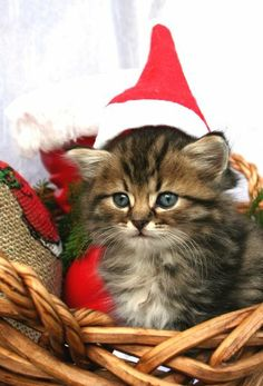 Christmas Cat #cat http://pinterest.com/ahaishopping/