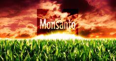 """LA PARADOJA DE MONSANTO: """"AHORA QUIERE PRODUCIR ORGÁNICO""""   #Salud #Nutrición #Noticias #Consejos #Alimentación #Enfermedad #Health #Tips #Agricultura #Economía #Denuncia #Actualidad #News   http://www.lagranepoca.com/medio-ambiente/84557-la-paradoja-de-monsanto-ahora-quiere-producir-organicos.html"""